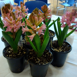 Each volunteer received a pink hyacinth as a thank you